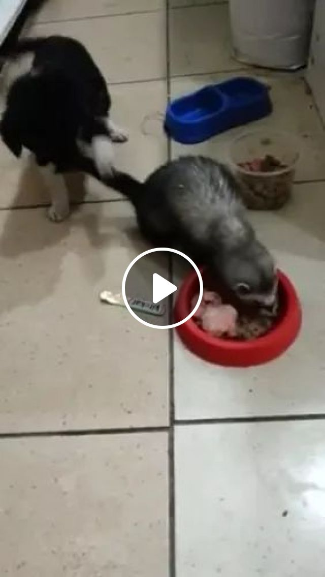 Puppy Wants To Play With Squirrel - Video & GIFs   Smart puppies, kitchen furniture, cute squirrels, delicious food, funny animals