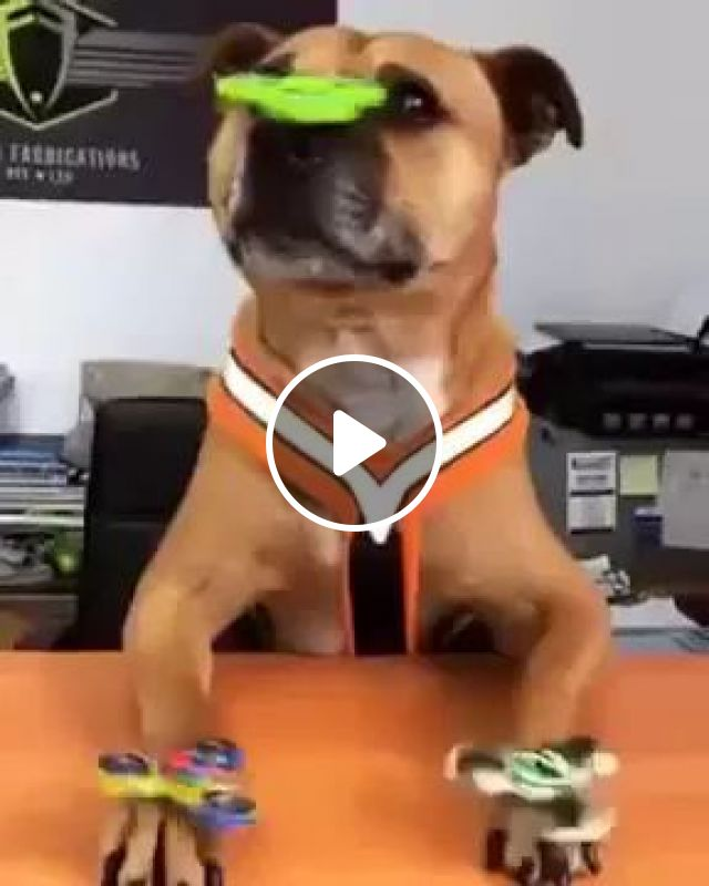 Dog Keeps Balance Spinner On The Nose, In Living Room - Video & GIFs | Dog, animals, pets, spinner balance, living room, luxurious furniture