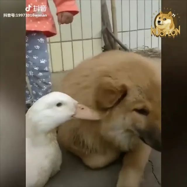duck is bothering dog