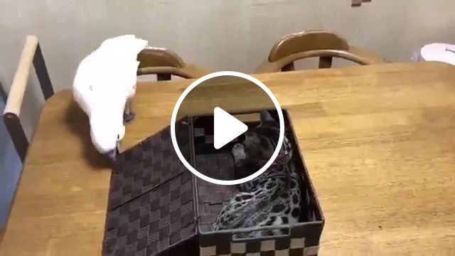 Parrot Loves Box On The Dining Table In Kitchen - Video & GIFs | parrots, boxes, dining tables, kitchens, kitchen furniture