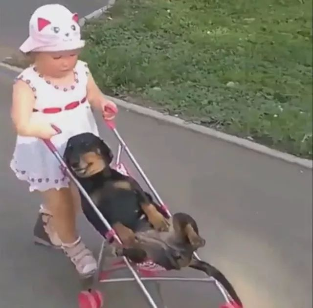 dog is carried by baby on a baby stroller in park