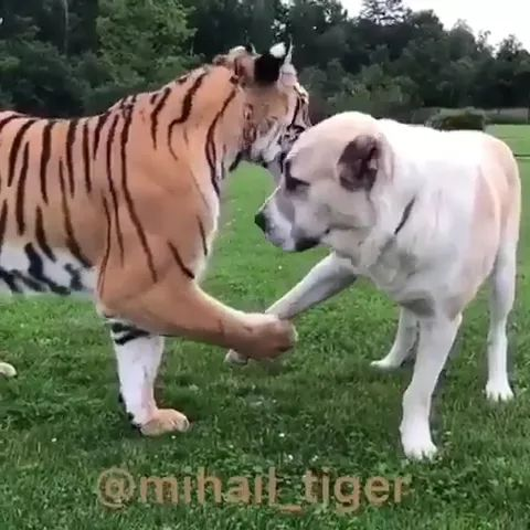 Dogs and tigers are friend