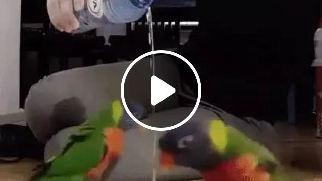 Happy Parrots Jumping Around Water Pouring Out Of Bottle - Video & GIFs   happy, parrots, jumping, around, water, pouring, bottle