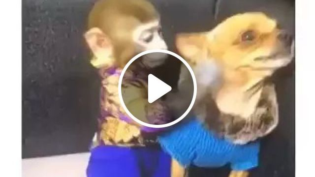 monkey is taking care of puppy's health in living room, animals, pets, monkeys, caring, health, puppies, dog breeds, living rooms, apartments, furniture