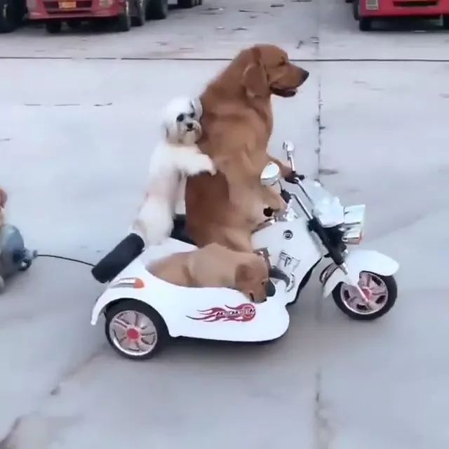 Dogs travel by toy motorcycle