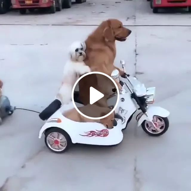 Dogs travel by toy motorcycle, dogs, adorable, pet, animal, Sweden travel, motorbike toys