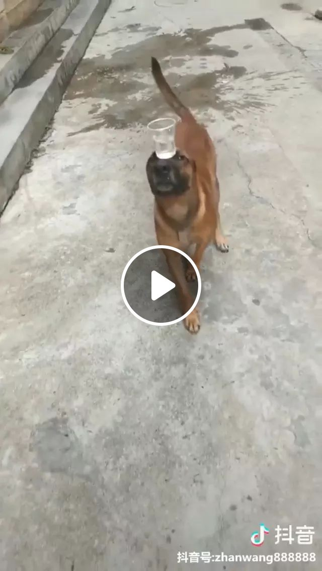 Dog Has Ability To Balance With Plastic Cups - Video & GIFs   dogs, talents, performers, balances, glasses, water, funny