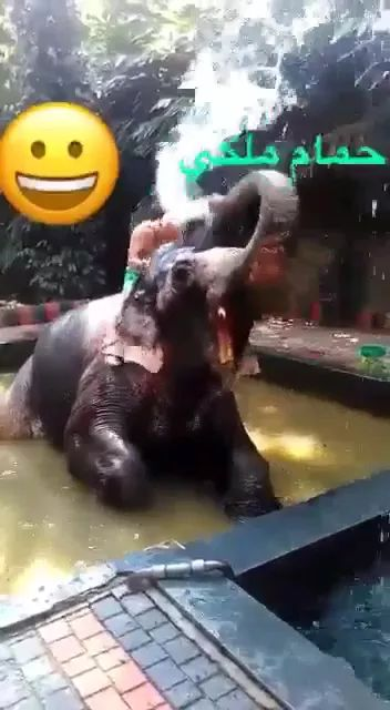 In resort, elephants pour water into man. - Video & GIFs   resorts, elephants, pouring water, men, tourists