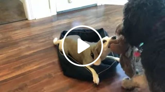 In Living Room, Two Dogs Like To Play With Stuffed Animals - Video & GIFs | living room, wooden floor, two dogs, adorable, likes, play, stuffed animals