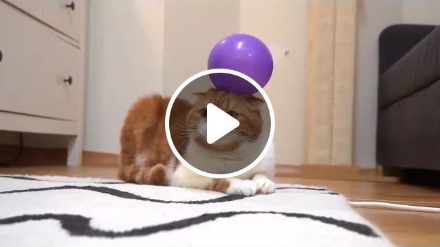 Sticking balloons on cats, cute cat, cat breeds, purple bubbles, luxurious living room