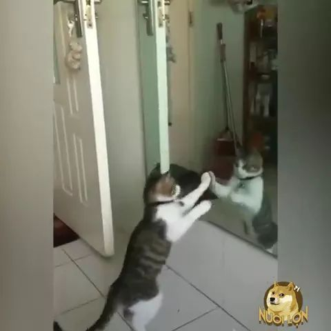 Cat dances with mirror reflection