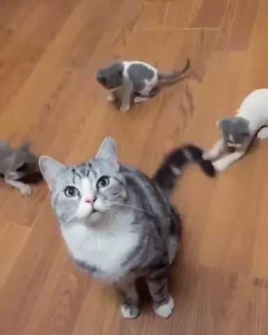 On wooden floor, kittens love to play with tail of their mother cat