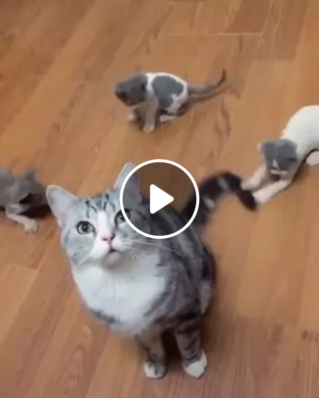 On Wooden Floor, Kittens Love To Play With Tail Of Their Mother Cat - Video & GIFs   wooden floors, kittens, mother cat, adorable, animals, pets