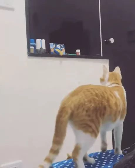 Mother cat helps kitten get toys on the shelf in living room