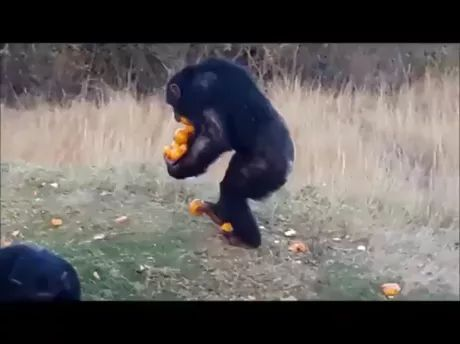 clever monkey used his hands and feet to bring oranges