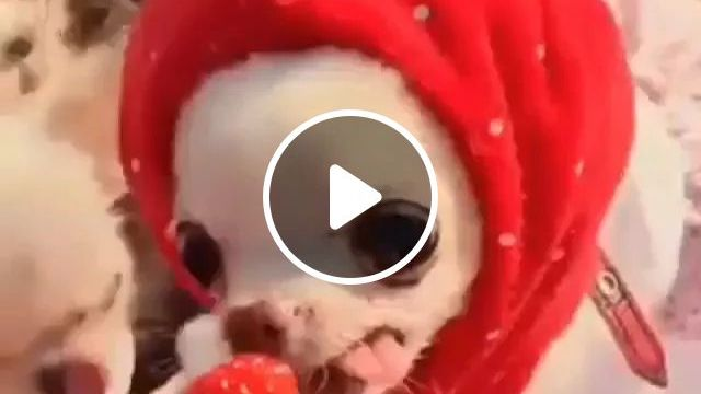Strawberry Fruit Is Delicious - Video & GIFs   puppy, eating, strawberry, lovely, adorable