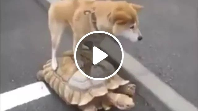Turtle Carrying A Dog Traveling To United States - Video & GIFs | Lovely turtles, smart dogs, funny animals, American travel