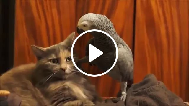 Smart Parrot Wants Cat To Be Happier In Living Room - Video & GIFs | Smart parrots, cute cats, interior living room