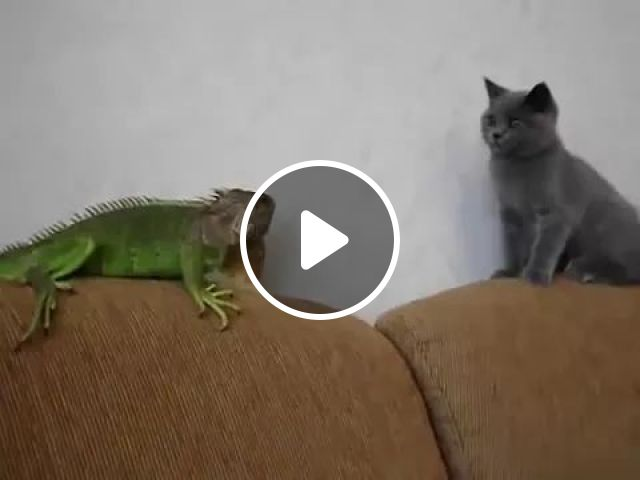 Cat And Lizard On A Sofa, In Living Room - Video & GIFs | cat, lizard, friendly, sofa, living room, luxurious interior