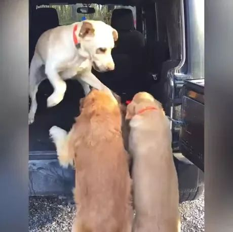 dog is helping two other dogs on a luxury car.