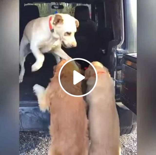 Dog Is Helping Two Other Dogs On A Luxury Car. - Video & GIFs   dog, adorable, golden retriever dog, helping, to luxury cars, luxury vehicles