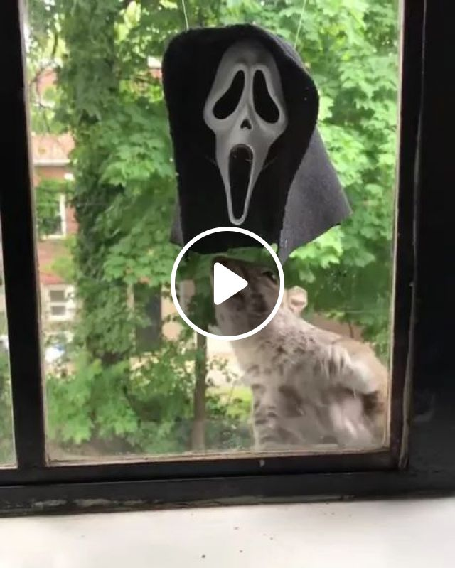 Squirrel Likes Mask In Front Of Kitchen's Glass Door - Video & GIFs | Squirrel, likes, masks, front of glass door, kitchen