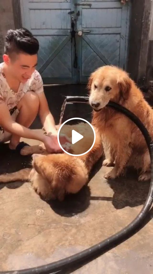 Smart Dog Helps Keep Water Pipe For Him - Video & GIFs | smart dog, golden fur dog, plumbing, funny animals, pets