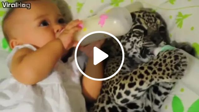 Baby And Baby Tiger Are Drinking Milk - Video & GIFs | baby, baby tiger, friendly, milk, milk bottle