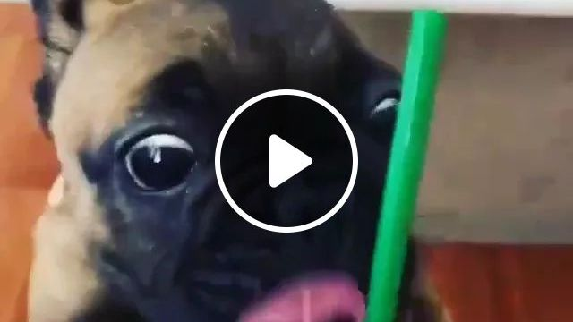 Puppy Drinks Water In A Coffee Shop - Video & GIFs   dog pug, cute dog, drink water, funny animals