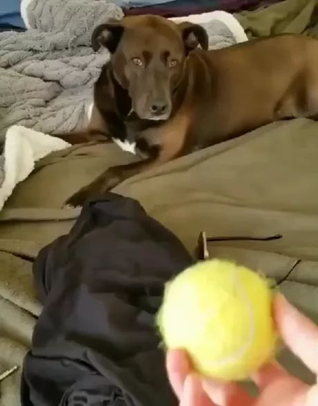 Surprised dog with ball on the head in bedroom - Video & GIFs | dogs, dog breeds, balls, bedrooms, bedroom furniture