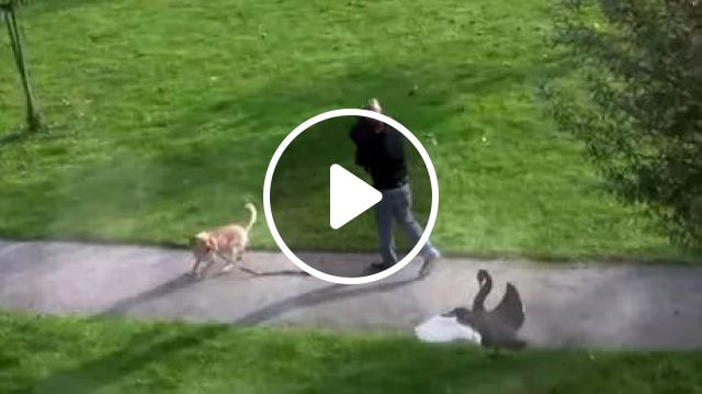 Dog Protects Him From Attack Of Goose - Video & GIFs   hero, dog, guard, man, goose, attack, street