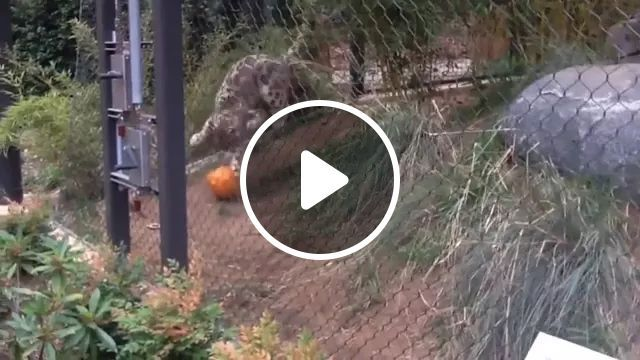 In zoo, leopard is happy to play with ball, leopard, squash, zoo, jump, practice, nature