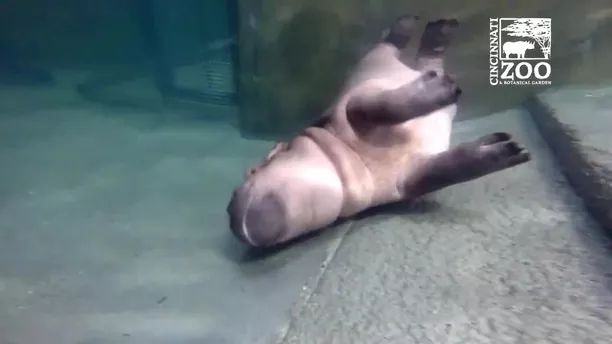 lovely hippo lies at bottom of lake in zoo