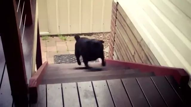 Puppy with short legs can climb onto step