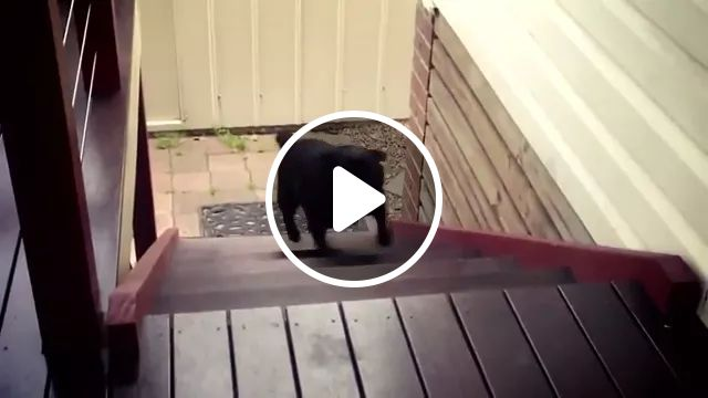Puppy with short legs can climb onto step, puppy, jump, adorable, stair