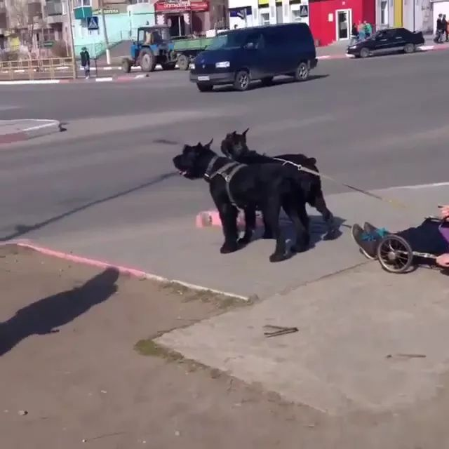 on the street, a man in a wheelchair, pulled by two dogs