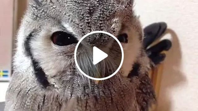 owl looks cool, Cute owl, funny animal, pet care, looks cool