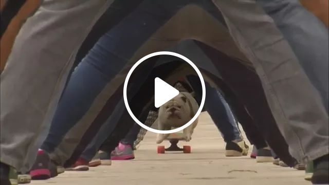 Guinness World Record of DOG, bulldog, skateboard, performing, professional, dog