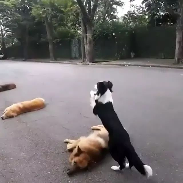 Smart dog using hind legs jumps over obstacles