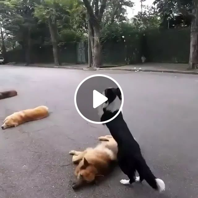 Smart dog using hind legs jumps over obstacles, smart, dog, using, hind legs, jumps, over obstacles