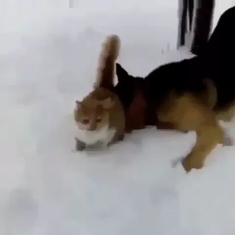 Cat is afraid to go on the snow, dog wants to play with cat