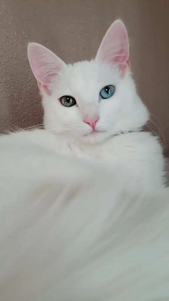 White haired cat with blue eyes