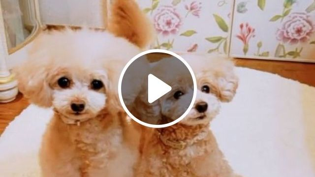Show And Handle A Dog As A Junior - Video & GIFs   Pets and Animals, Dogs, Dog Shows
