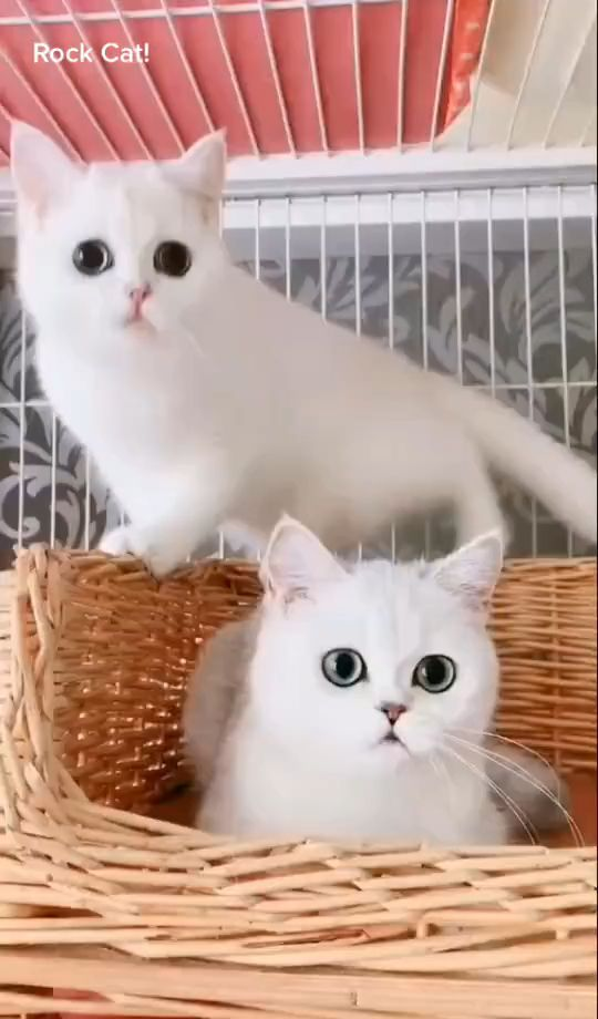 Look after white cats