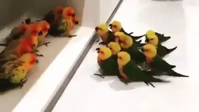 Battle for colorful parrots in living room