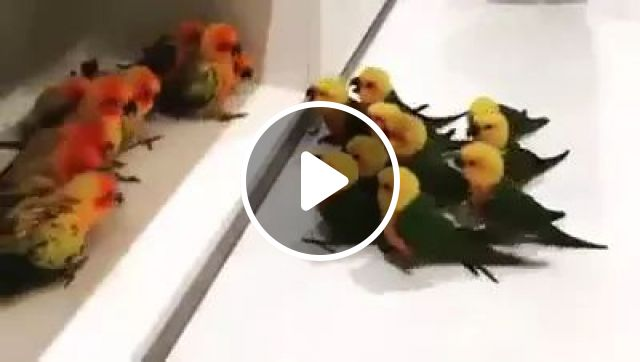 Battle For Colorful Parrots In Living Room - Video & GIFs | Colorful parrots, living rooms, funny animals