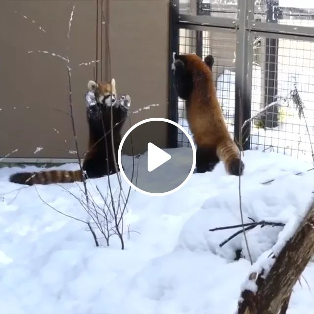Raccoon And Relationship - Video & GIFs | winter, snow, adorable, animal
