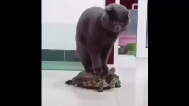 cat is riding a tortoise, have you ever seen it