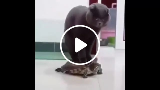 Cat Is Riding A Tortoise, Have You Ever Seen It - Video & GIFs   black cats, cat breeds, smart cats, funny animals