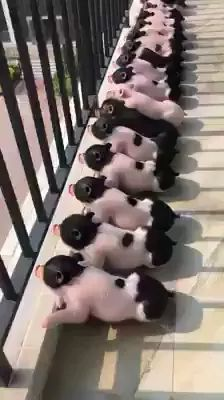 Small pigs lie in sun to protect their health. - Video & GIFs | health, effects, pigs, pets, animals, pet care, vitamin D,